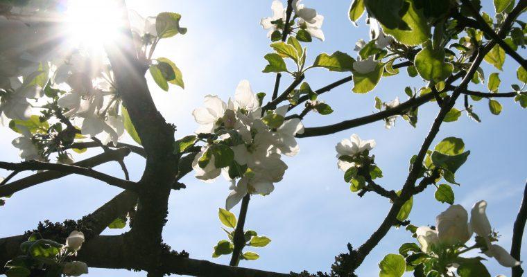 Omenapuiden leikkauksia 2016-2017